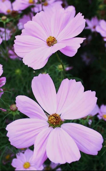Manito Park Spokane Photograph - Pink Cosmos by Ellen Tully