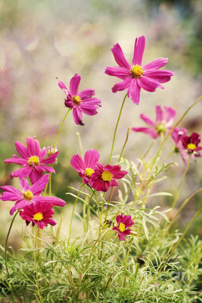 Asteraceae Wall Art - Photograph - Pink Cosmos by Juli Scalzi