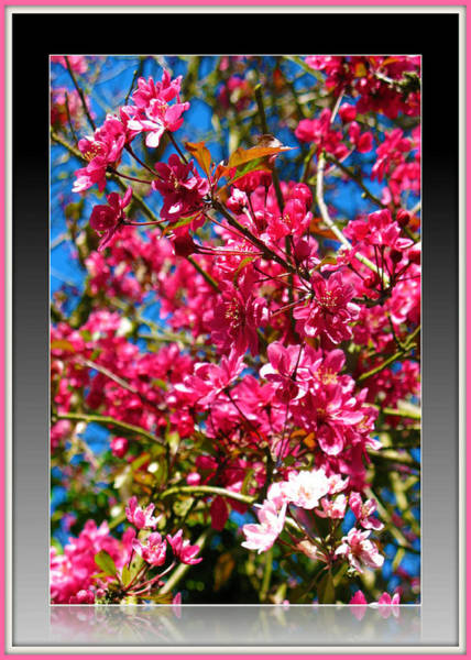 Photograph - Pink Crab Apple Blossom by Charmaine Zoe