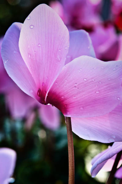 Photograph - Pink Cyclamen by Thomas Hall