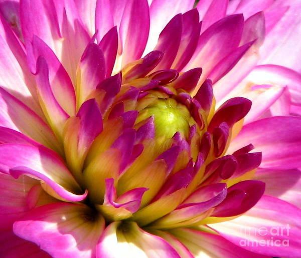 Photograph - Pink Dahlia Flower Macro by Rose Santuci-Sofranko