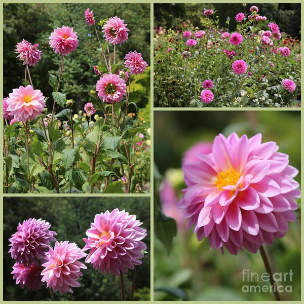 Photograph - Pink Dahlia Garden Collage by Carol Groenen