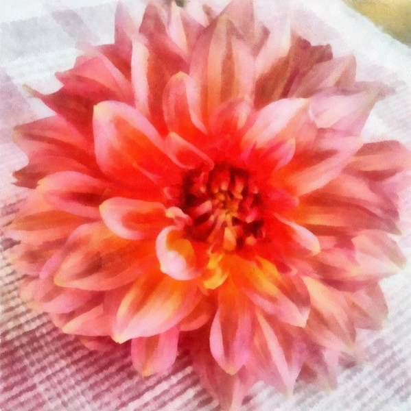 Photograph - Pink Dahlia by Michelle Calkins