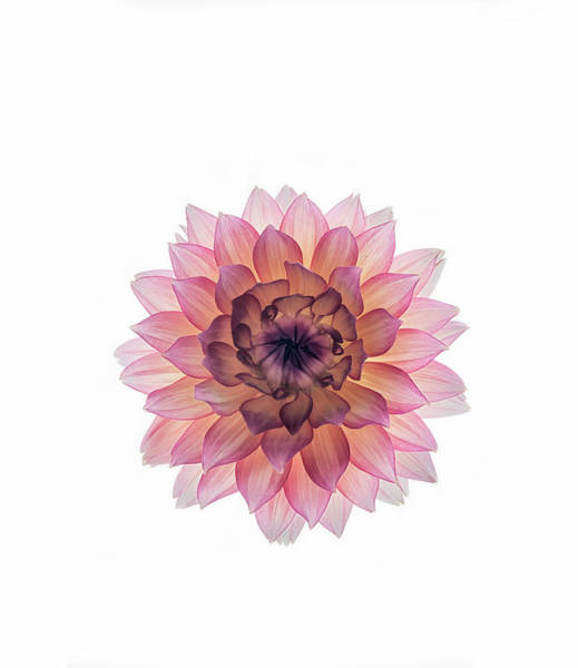 Photograph - Pink Dahlia On White Background by Mike Hill