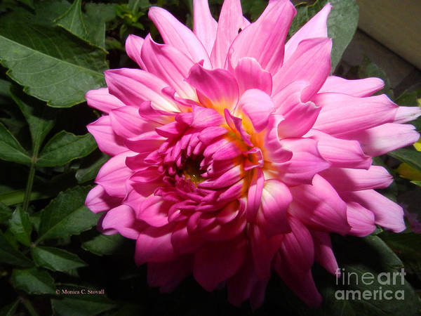 Photograph - Pink Dahlia Opening Collection No. P60 by Monica C Stovall