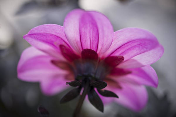 Photograph - Pink Dahlia by Priya Ghose