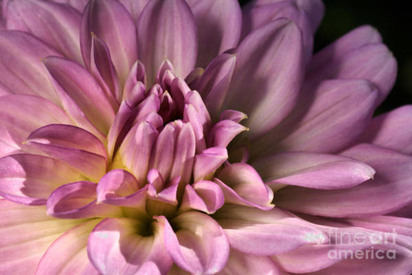Pink Dahlia's Dream Art Print