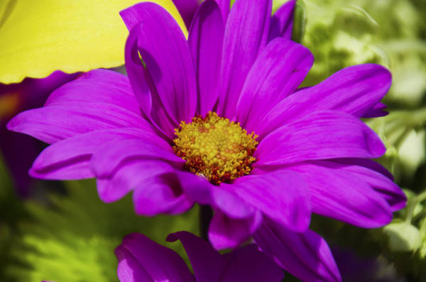 Wall Art - Photograph - Pink Daisy  by Dave Sandt
