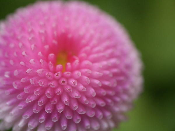Wall Art - Photograph - Pink Daisy Flower by Myu-myu