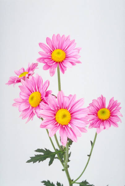 Photograph - Pink Dasies by Matthew Pace