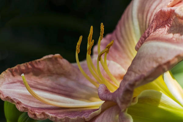 Photograph - Pink Day Lilly Side View by Sven Brogren