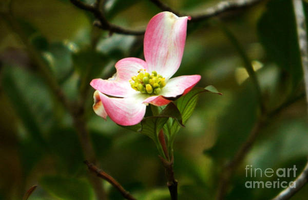 Photograph - Pink Dogwood 2 by Andrea Anderegg