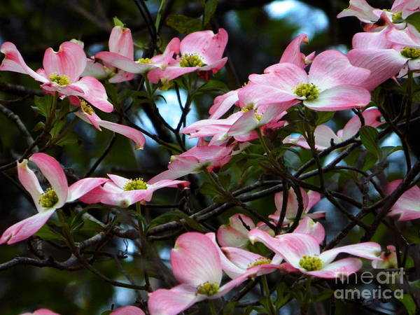 Photograph - Pink Dogwood by Andrea Anderegg