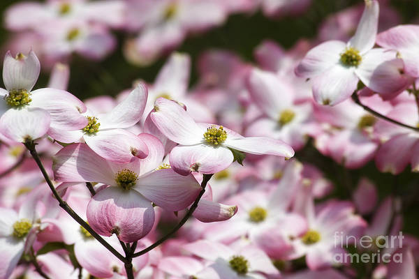 Photograph - Pink Dogwood Blooms by Jill Lang