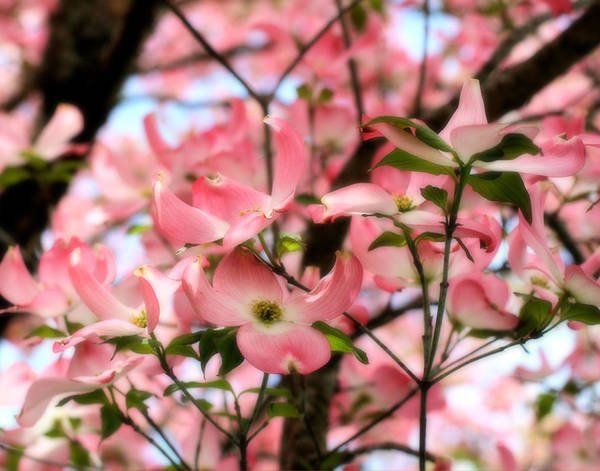 Photograph - Pink Dogwood by Denise Beverly