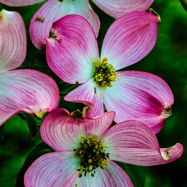 Photograph - Pink Dogwood by Louis Dallara