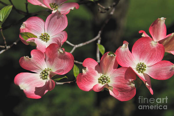 Photograph - Pink Dogwood by William Norton