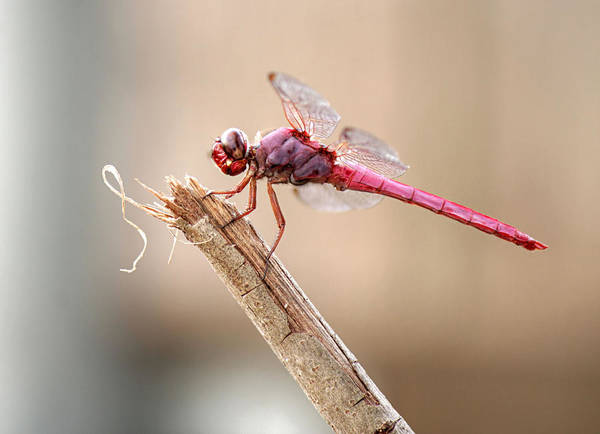 Photograph - Pink Dragonfly by Sarah Broadmeadow-Thomas