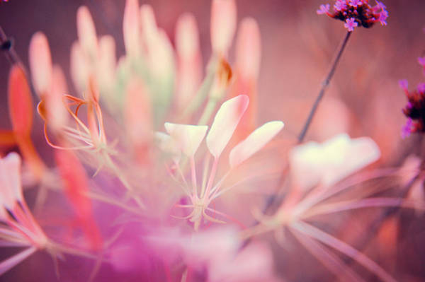 Photograph - Pink Dream by Jenny Rainbow