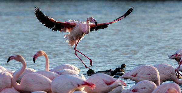 Phoenicopterus Roseus Wall Art - Photograph - Pink Flamingo Coming Into Land by Raffi Maghdessian