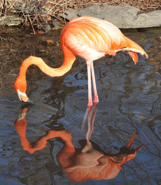 Wall Art - Photograph - Pink Flamingo Reflection by Bill Cannon