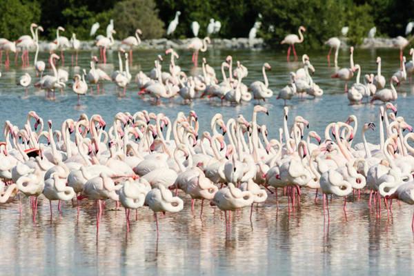Wading Photograph - Pink Flamingos At Ras Al Khor Wildlife by Iain Masterton