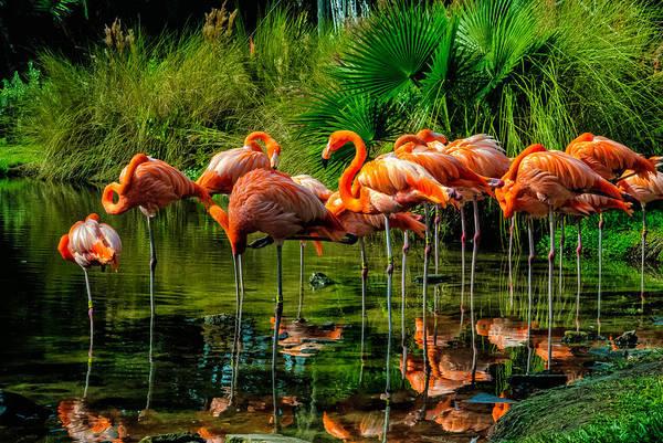 Photograph - Pink Flamingos by Louis Dallara