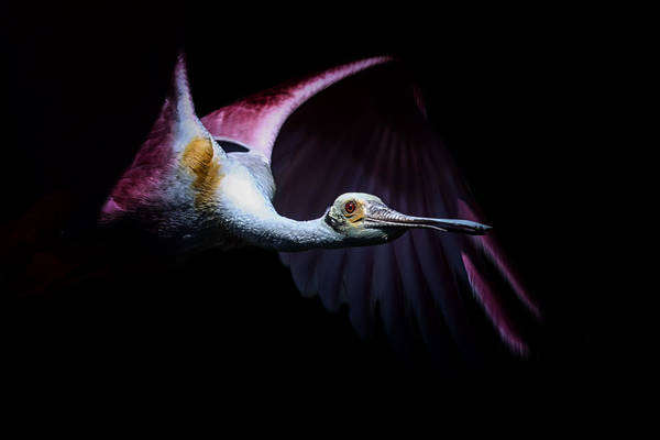 Photograph - Pink Flight by Ghostwinds Photography