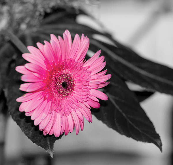 Pink Flower Art Print by Amr Miqdadi
