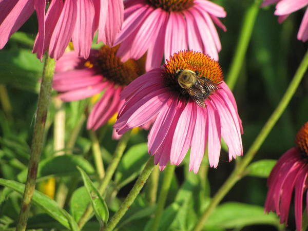 Photograph - Pink Flower And Bee by Anita Burgermeister