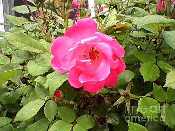 Photograph - Pink Flower by Catherine Lott