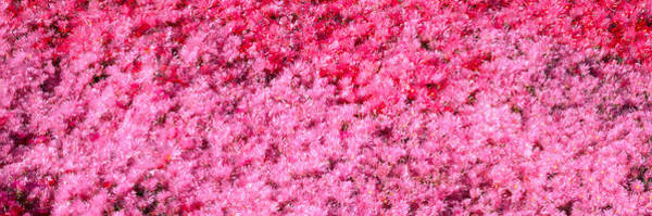 Rebirth Photograph - Pink Flowers, Channel Islands by Panoramic Images