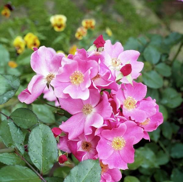 Shrub Photograph - Pink Flowers by Horst P. Horst