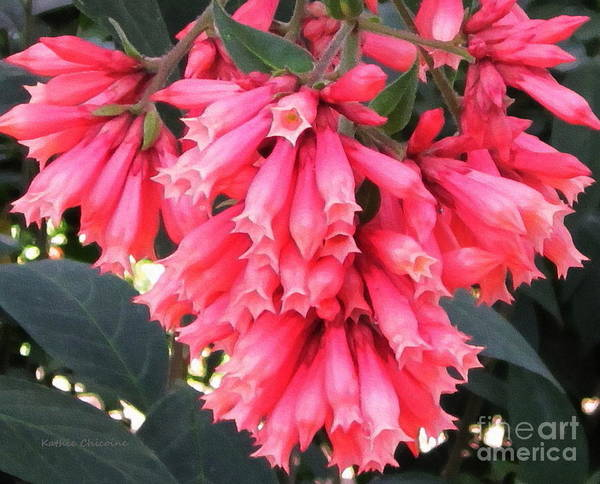 Photograph - Pink Flowers by Kathie Chicoine