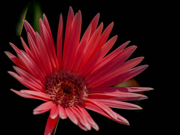 It Professional Photograph - Pink Gerber Daisy by Renee Barnes
