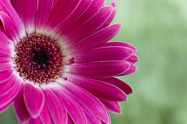 Photograph - Pink Gerbera by Christi Kraft