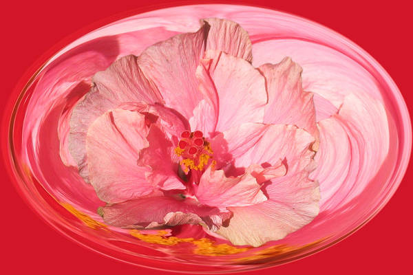 Photograph - Pink Hibiscus 804 by Jim Baker