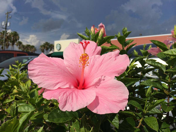 Photograph - Pink Hibiscus  by Nicki La Rosa