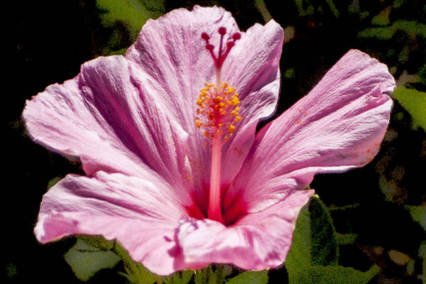 Digital Art - Pink Hibiscus by Photographic Art by Russel Ray Photos