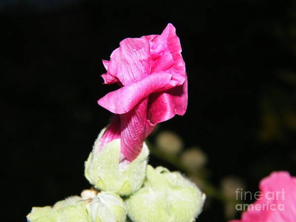 Photograph - Pink Hollyhock  by Ann E Robson