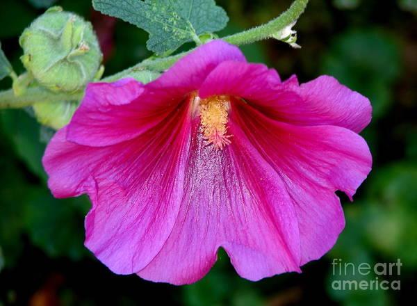 Photograph - Pink Hollyhock Flower Macro by Rose Santuci-Sofranko