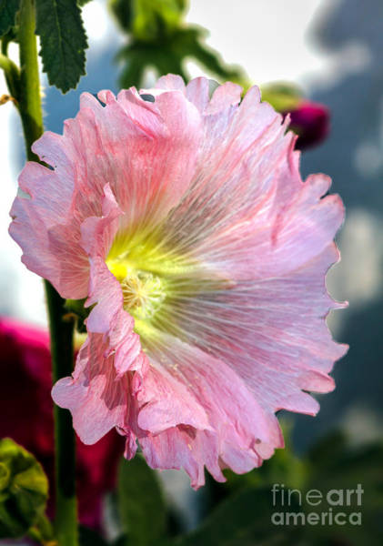 Mallow Family Photograph - Pink Hollyhock by Robert Bales