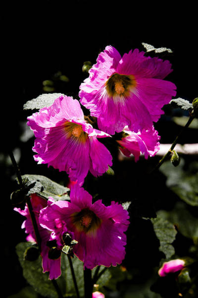Pink Hollyhocks Art Print