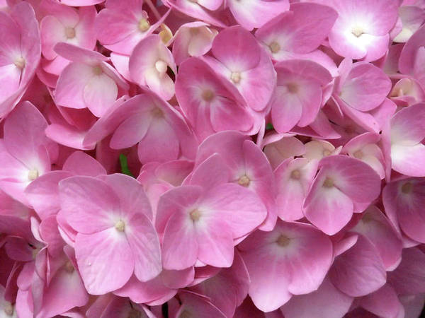 Photograph - Pink Hydrangea by Denise Beverly