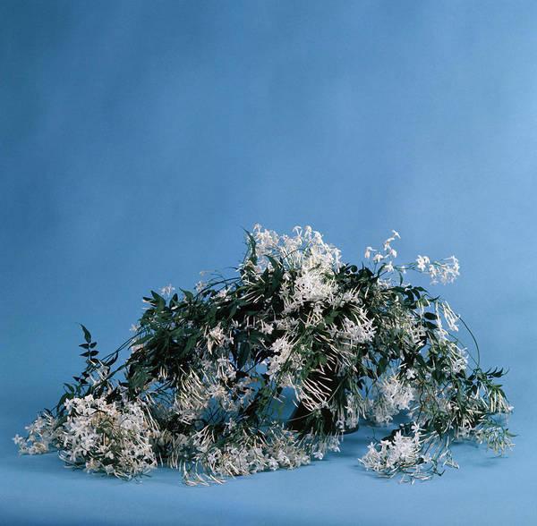 Jasmine Photograph - Pink Jasmine (jasminum Polyanthum) by Science Photo Library