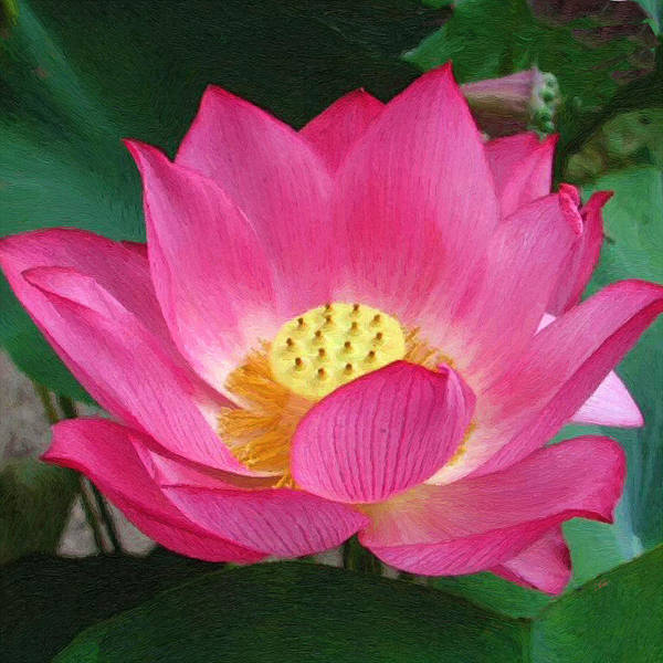 Painting - Pink Lotus Flower by Dean Wittle