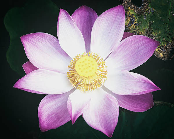 Photograph - Pink Lotus Flower by Stefan Nielsen