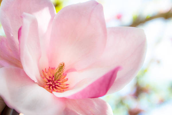 Photograph - Pink Magnolia by Denise Bird