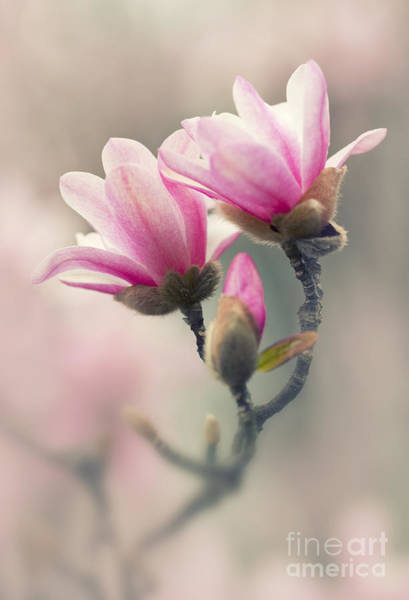 Nature Wall Art - Photograph - Pink Magnolias by Jaroslaw Blaminsky