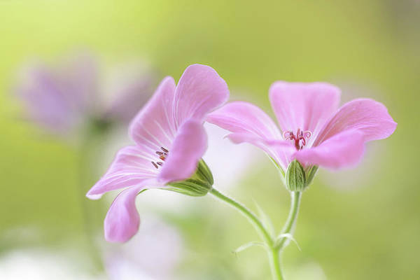 Wall Art - Photograph - Pink Melody by Mandy Disher